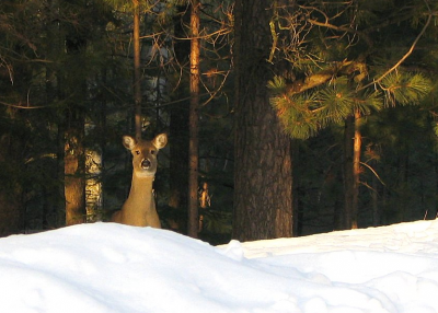 Volunteers on snowmobiles will soon be delivering feed to Minnesota's struggling deer.
