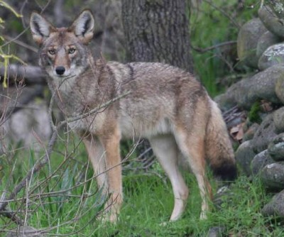 Delaware Coyote Season Nets Exactly One Harvest Outdoorhub