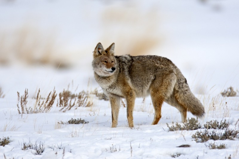 Hunting coyotes with dogs is flat-out enjoyable! Just remember that it takes snow, several hunters, and permission to hunt lots of ground to get started. Image copyright iStockPhoto/thejack.