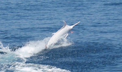 Just because it's special doesn't mean it didn't put up a fight. The white blue marlin speeds away from the boat.