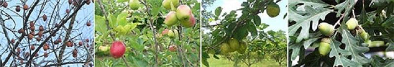 Persimmon trees, Apple, Pear trees, and Oak trees