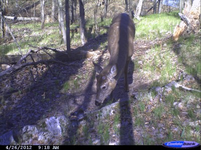 By late April the annual process of growing the antlers is underway. The beginning of the year's growth is clearly evident on this buck.