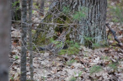 You may not always see grouse in the spring, but you can certainly hear them drumming. Image by Derrek Sigler.