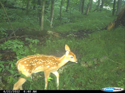 Fawns are the key to survival of the whitetail species.