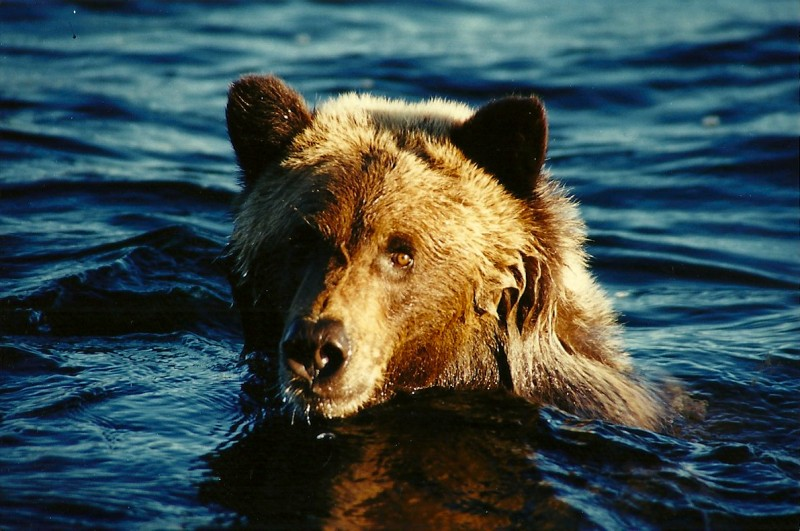 The tundra grizzly that Dunn managed to capture treading water. Image by Dennis Dunn.