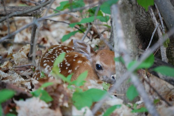 A healthy crop of fawns is a great indicator of the good health of a local deer population, as well as how the herd handled the winter. Image by Derrek Sigler.