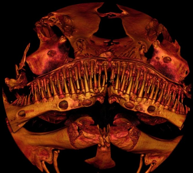 This small new species of catfish sports four rows of sharp-tipped teeth. Image courtesy Drexel University and Cornell University CT image facility.