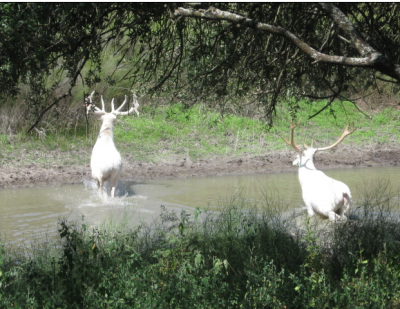 Elk can also be white. Here are two bulls from Utah's Logan Canyon.