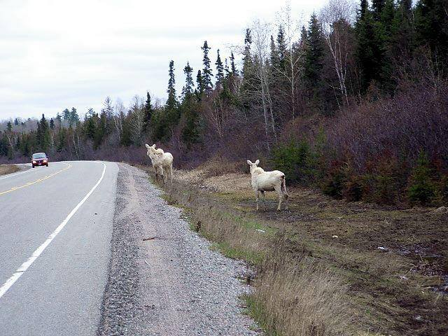 Two white, or possibly albino, moose watch traffic pass by in Ontario.