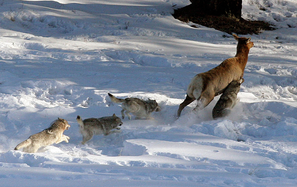 Study Inter Pack Conflicts Hamper Yellowstone Wolves