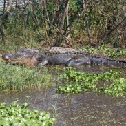 Large alligators, like this one sunning at Lake Eufaula, are not uncommon in south Alabama, but the Alabama Wildlife and Freshwater Fisheries Division has decided to reduce the number of alligator tags in the Southeast zone to ensure the population remains healthy.