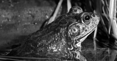 Back in the old days, frog gigging was one of the few activities a 16-year-old Southern boy could participate in without causing trouble.