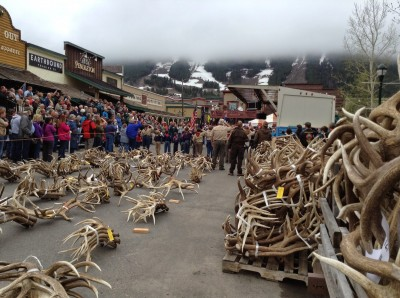 Elk shed their antlers every year, which helps provide a steady source of income for the National Elk Refuge and nearby Boy Scouts.