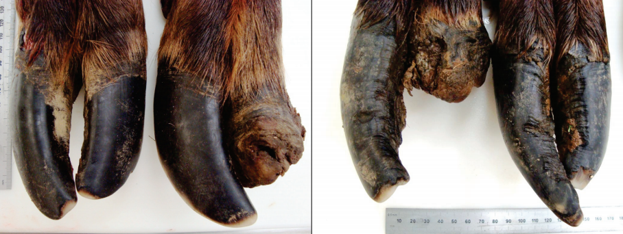 Two deformed hooves found in 2009.