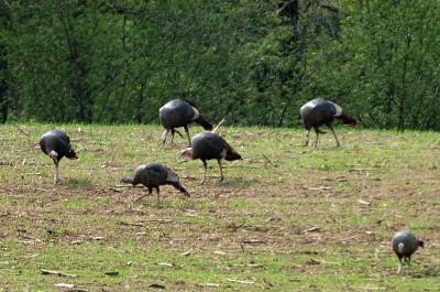 The sight of wild turkeys causes an adrenaline rush for hunters.