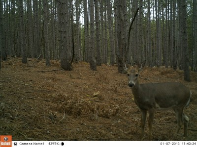 Trail cameras are a great way to track and pattern whitetails, especially antlerless deer.