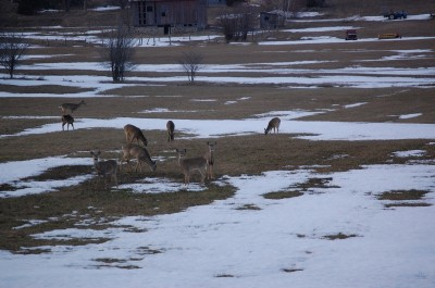 Large numbers of deer emerged from the woods after this winter in most parts of Michigan.