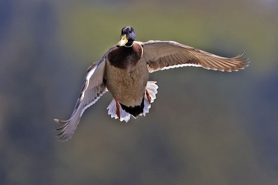 Hunters in the Peace Garden State can expect to see more ducks and pheasants this year after a mild winter.