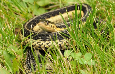 Garter snakes eat small frogs and toads, and large insects like crickets, grasshoppers and June-bugs.