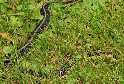 Garter snakes are nonvenomous and found throughout Wisconsin.