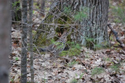 Excellent camouflage and an instinct to run first from threats before flying make the ruffed grouse a tricky and challenging game bird. Image by Derrek Sigler.
