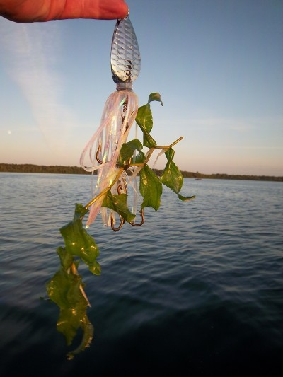 Pondweed is commonly called cabbage by anglers across the muskie's range. It's one of the key components to finding muskies in natural lakes during the summer.