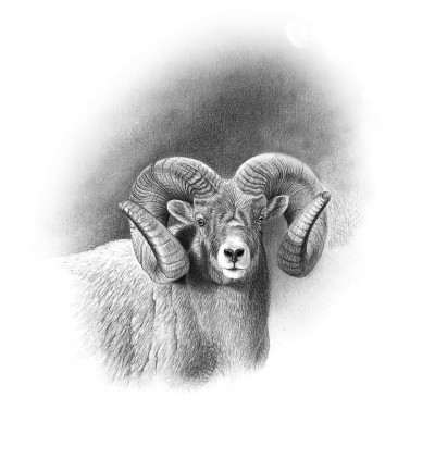 The Boone and Crockett Club World's Record bighorn sheep. Illustration by Dallen Lambson.