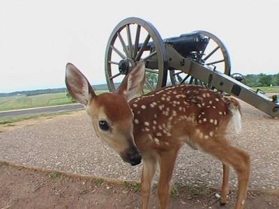 A whitetail fawn next to a cannon in Antietam. Deer overpopulation often means that the animals will consume all available food, increasing the chance for mass starvation later on.