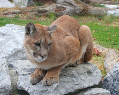 One Colorado hiker spent a tense 20 minutes serenading a mountain lion with her singing. File image from Greg Hume on the Wikimedia Commons.