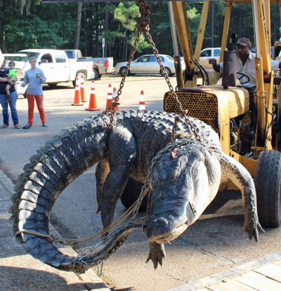 Personnel from Roland Cooper State Park had to bring in a backhoe to help the Alabama Wildlife and Freshwater Fisheries crew weigh the monster alligator caught during the opening weekend of Alabama's alligator season by Mandy Stokes and her team.