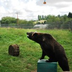 """Many animals can use tools, including primates, sea otters, badgers, and even mongooses. Could the brown bear be a """"complex"""" tool user?"""