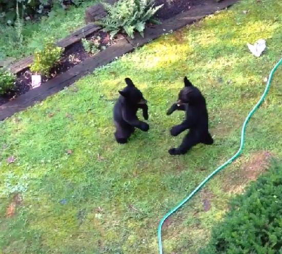 Video: Two Bear Cubs Start Boxing In Backyard