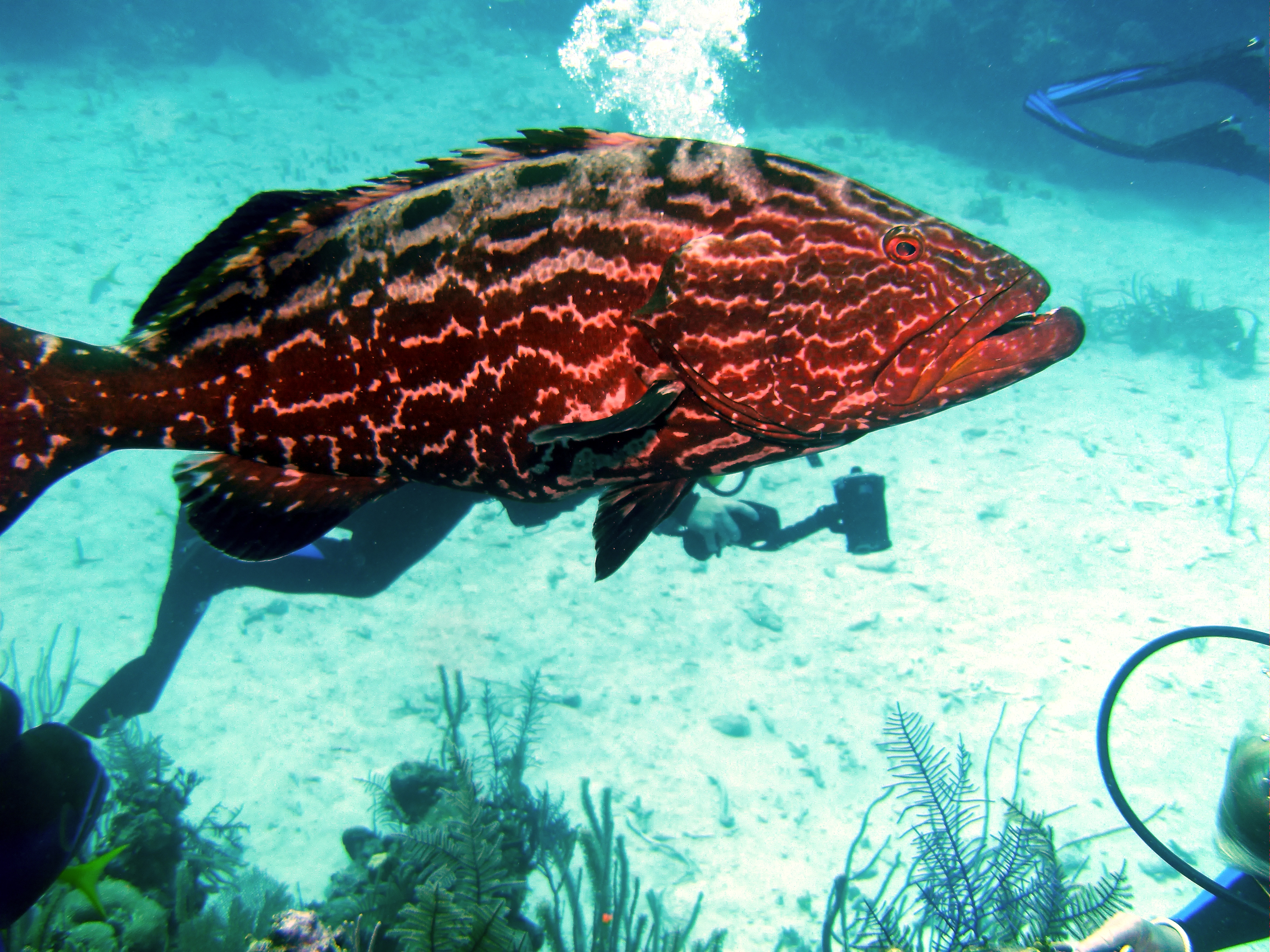 Florida Anglers Call for Goliath Grouper Harvest   OutdoorHub
