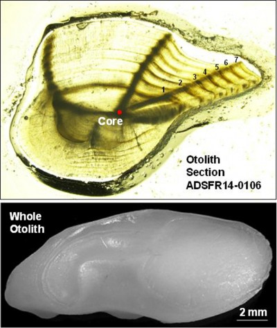 Graduate student Brian Klimek, working with Will Patterson from the Dauphin Island Sea Lab, dissected the otolith (ear bone) of the Alabama Deep Sea Fishing Rodeo record trout caught by Trenny Woodham this year and determined the trout was 7 years old by counting the growth rings.