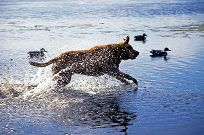 Dogs and hunters need a little training before duck season. Making a solid identification before you pull the trigger and Fido brings you your duck requires a bit of training, too. Image by Doug Stamm.