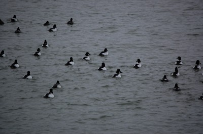 Michigan hosts plenty of diver ducks in addition to its other waterfowl offerings.