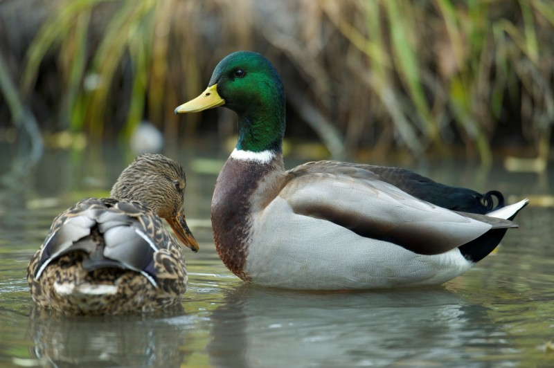 Even the best duck hunters can make mistakes. Just be sure to learn from yours. Image by Fred Greenslade, used with permission from Delta Waterfowl.