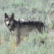 After stalking wolf hunters and trappers in Montana, one group is hounding sportsmen during Wisconsin's wolf season.
