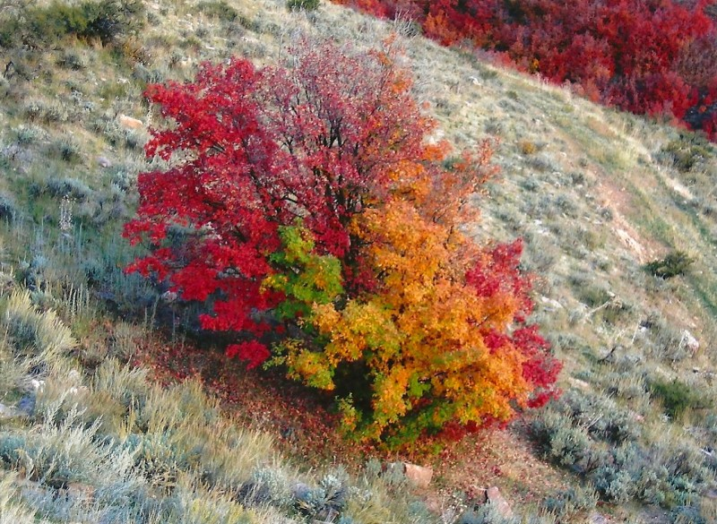 "The ""paint-pot"" maple the author spotted in the Wasatch Mountains. Image courtesy Dennis Dunn."