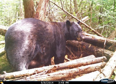 This photo of Dennis Arndt's giant black bear was taken in early September by a trail camera monitoring Arndt's bait site.
