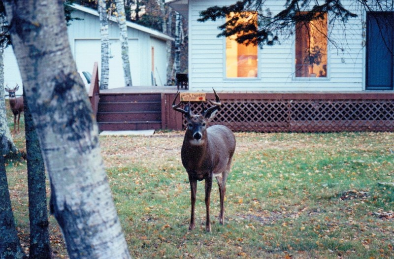 Big bucks can be found on small suburban properties. Knowing how to improve the properties and hunt them with a low profile is key to success.