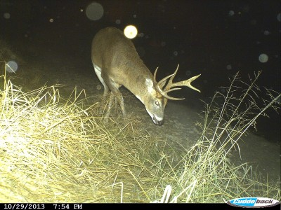 "A mature buck the author calls ""Lefty"" because of his unique left antler. The trail cam that took this image was set up more than two miles away from where he was previously sighted. Image courtesy Bernie Barringer."