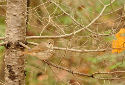 A hermit thrush hunts for insects in broken branches after the good oak crashed to the ground.