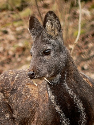 Those wicked-looking fangs aren't for drinking blood. This musk deer resides in a Czech zoo.