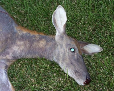 Deer doe with mange. Image courtesy Washington Department of Fish and Wildlife.
