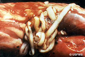 Tapeworm in an infected bass.