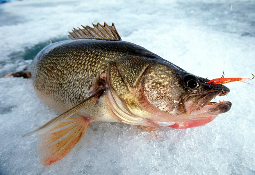 4 legendary ice fishing baits that have stood the test of for Ice fishing for walleye