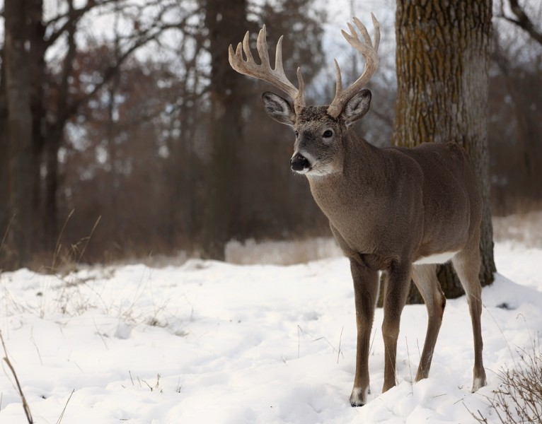 The rut is over, and so is gun season. Now deer are focused on finding and consuming food. In the opinion of many deer hunters, the late season is the best time of the year to shoot a big buck--if you can handle the cold. Image copyright Getty Images/Lynn_Bystrom.
