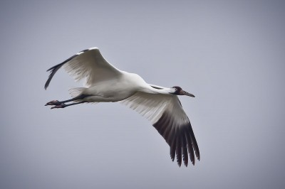 Endangered whooping cranes are easily distinguished from their smaller cousins up close, but officials are worried that hunters will mistake them for sandhill cranes at a distance. Image courtesy USDA