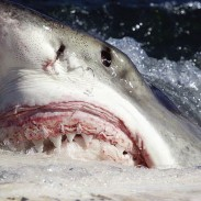A huge great white shark has shut down beaches in eastern Australia for nearly a week.